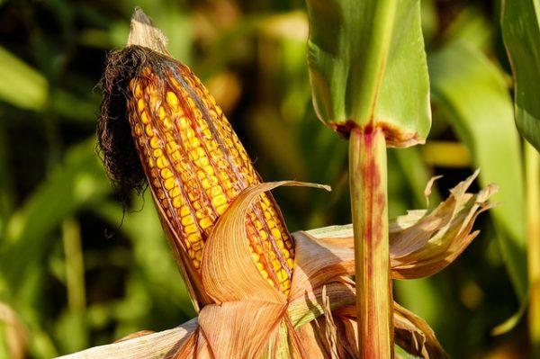 Mais ist einer der Rohstoffe, aus der Biogas hergestellt wird.